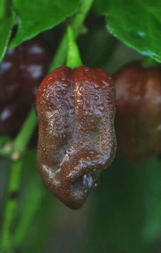 Angebot 5 verschiedene Chilisorten Chilisamen milde Sorten Chili Samen