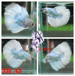 [331_A3]Live Betta Fish High Quality Male Fancy Over Halfmoon 📸Video Included📸