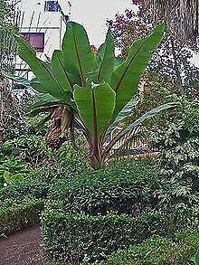 10 graines Ensete Ventricosum bananier Abyssinie