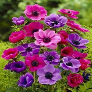 Jardinage Decaen Mix Anemone Graines De Fleurs 20 Jardin