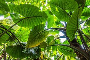 Elefantenohr-Exot-Zimmerpflanze-Topfpflanzen-Samen-exotische-Saatgut-Blume