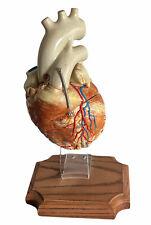 Vintage Anatomical Medical Human Heart Model Hinged 3 Part On Display