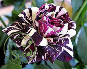 Seeds-Striped-Rose-Rare-Flowers-Perennial-Plants-Garden-Home-100-Pcs