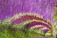 Schöner und auffälliger Blütenbaum mit zauberhaften Blüten: Blauregen !