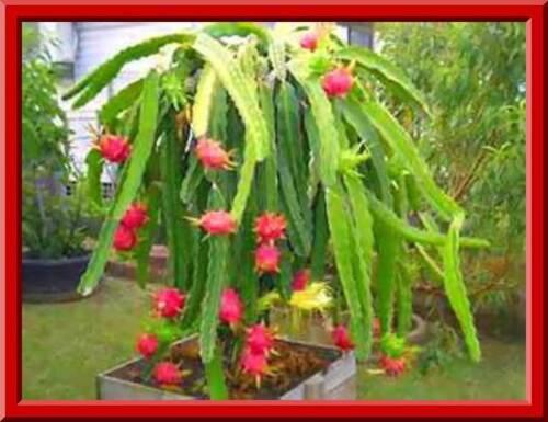10 Leckere Früchte Kombi S//H Siehe Unser Lager Weiß Fleisch Drachenfrucht