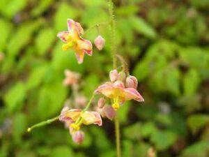 Epimedium-x-cantabrigiense-perennial-plant-ground-cover-any-aspect-9cm-pot