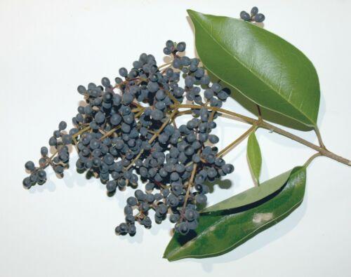 25 graines de Troëne du Japon Japanese Privet seeds Ligustrum japonicum