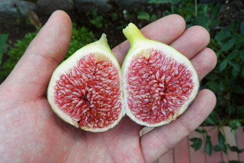 Chicago Hardy Fig Tree Seeds ~25 Top Quality Seeds Original Fig Extra Rare