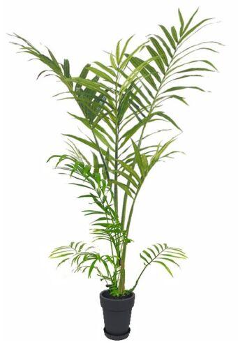 2 Kokospälmchen Palme mediterrane Pflanze große Zimmerpalme für Büro Büropflanze