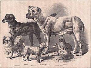 Englische-Rassehunde-6-Rattenfaenger-Bullenbeisser-u-a-Grafik-Stich-1874
