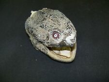 Mummified Snapping Turtle Head ,Crafts,Jewlery,Educational,Taxidermy,Oddity