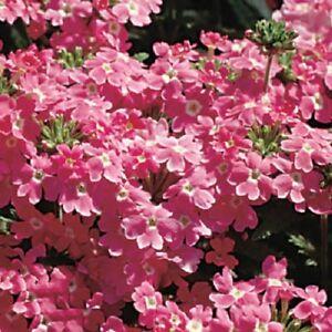 50-Seeds-Verbena-Obsession-Pink-Verbena-Seeds