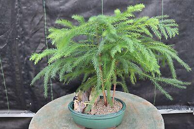 Norfolk Island Pine Bonsai Tree Landscape Scene Ebay
