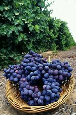 50- CONCORD GRAPE SEEDS, organic grown in the U.S.  we only ship to the U.S