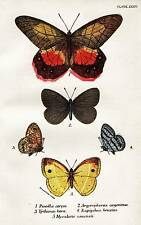 Original Antique BUTTERFLY Print 1896 KIRBY Color Chromolithograph 'Pierella Cer