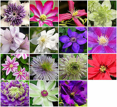50x Clematis Hybrid Flower Seeds, Garden Plant, Choice Of Colour * UK Seller