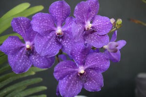 Tall  2.5 In Strap Leaf Vanda Orchid Hawaiian Starter Plant 4-6 In pot