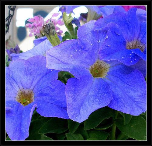 Petunia Hybrida SKY BLUE X155 SEEDS SEMILLA SAMEN 100 graines de PETUNIA BLEU
