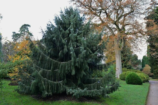 Brewer's Weeping Spruce - Picea Breweriana - 20 Seeds- Amazing Pendulous Conifer