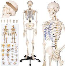 Human Skeleton Model Anatomy Medical Life Size Teaching Hospitals Clinic School