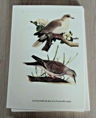 Planche Affiche poster art print Oiseau Ornithologie Tourterelle des Bois Turque