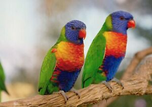 A1-Beautiful-Rainbow-Lorrikeets-Poster-Print-60-x-90cm-180gsm-Wall-Art-16202