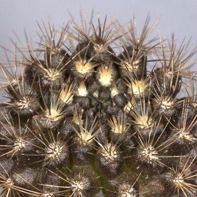 Chi Ha Già-il Super Fantastiche Bianchi Natale Cactus? Stanza Pianta Exot-us ? Zimmerpflanze Exot It-it Mostra Il Titolo Originale