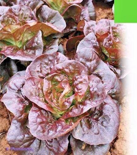 All season from Ukraine Seeds organic Salad Four Seasons
