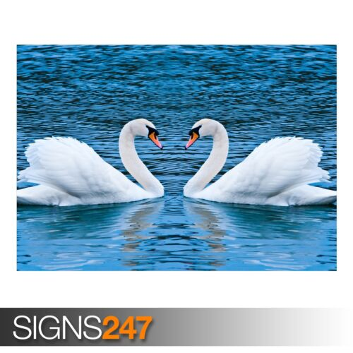 3355 Animal Poster SWAN LOVE Photo Picture Poster Print Art A0 A1 A2 A3 A4
