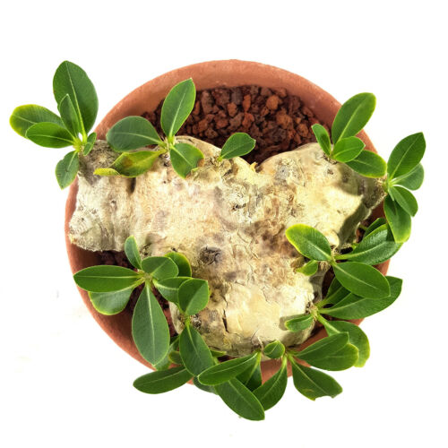PACHYPODIUM BREVICAULE caudex succulents MADAGASCAR PLANTS FOR SALE