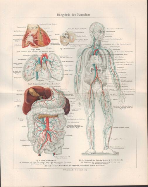 Chromo-Lithografie 1905: Blut-Gefäße des Menschen. Herz-Vorhöfe ...