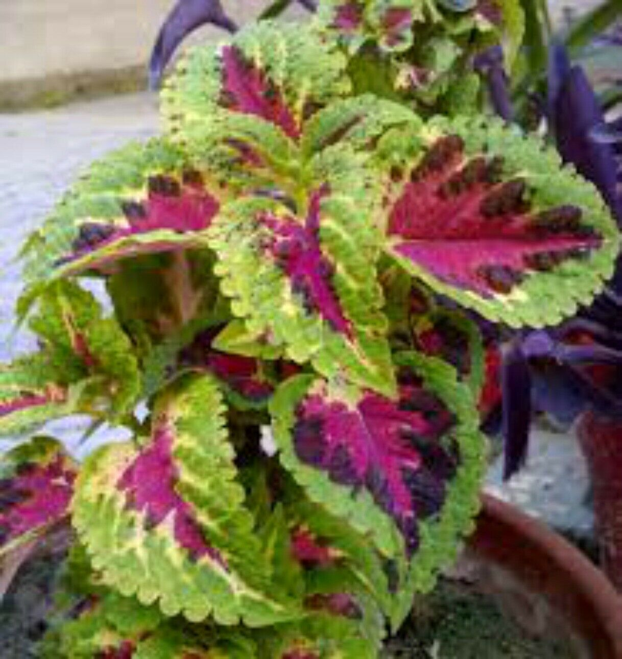 Non-Gmo Heirloom Flower Seeds Mixed Coleus Seeds 50ct Foliage Plant Seeds