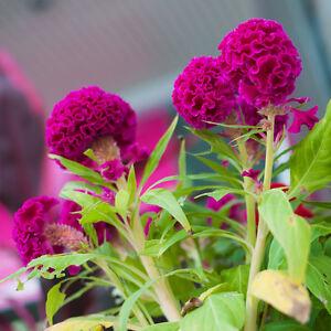 Exot Plantes Graines Exotiques Semences Chambre Plante Fleur Zierpflanze Crêtes-afficher Le Titre D'origine MatéRiau SéLectionné