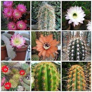 100 semi in miscuglio di Haageocereus mix , piante grasse,seed cactus mix