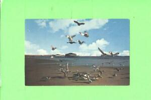 F-POSTCARD-DINNER-TIME-FOR-THE-GULLS-AT-OLD-ORCHARD-BEACH-MAINE-VACATION-LAND