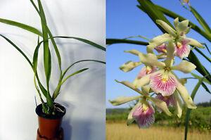 Prosyclia Purple Lace, orchidée, Orchid,