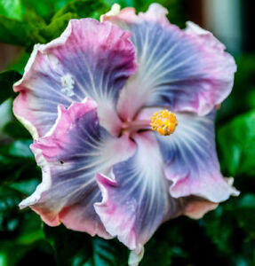 20 Blue Purple Hibiscus Seeds Hardy Perennial Flower Tropical Exotic