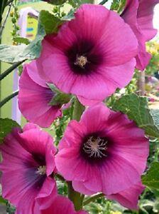 Hollyhock-Seeds-25-Halo-Hollyhock-Cerise-Seeds-Perennial-Seeds