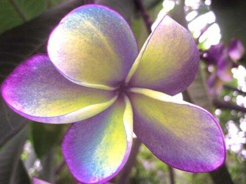 """/""""MARDI GRAS/"""" FRAGRANT Plumeria Cutting Healthy Plant Fresh 7-12 INCH+ROOTED"""