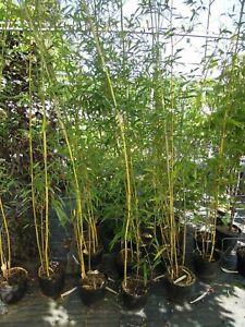Phyllostachys-aureoculcata-spectabilis-Zickzack-Bambus-200cm-Riesenbambus