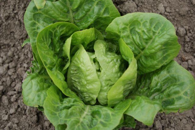 Vegetable - Lettuce - Little Gem - 6000 Seeds