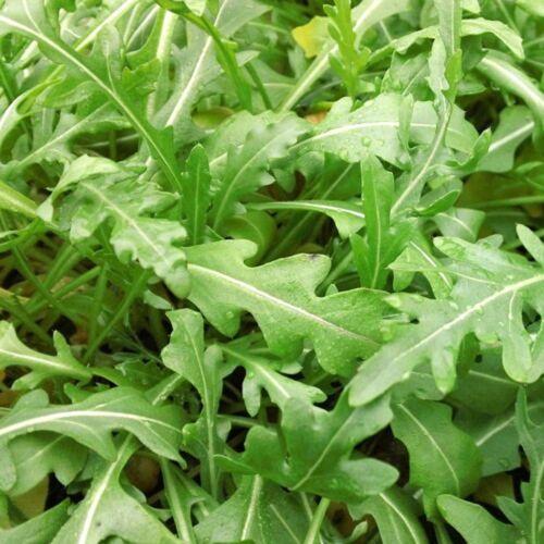 légumes jardin potager méthode BIO 500 Graines de Roquette plante aromatique