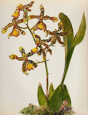 Antique ORCHID Print Botanical Flower Print Cottage Decor Odontoglossum #1232