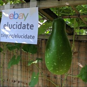 Bangladeshi Lao Lau Khodu MEDIUM GREEN Dudhi 5 seeds: Bottle gourd