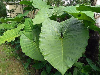 5 Large Elephant Ear Plants, Colocasia, Elephant Ear Bulb, Elephant Ear Plant