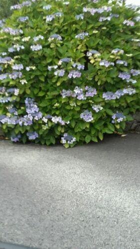Hydrangea lacecap 3 individual  plants in 10.5cm pots