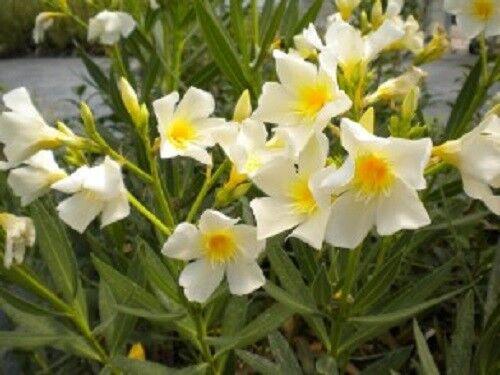 20 piante Nerium Oleander Oleandro h 10//30 cm vaso 8