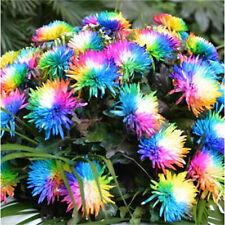 Rainbow Chrysanthemum Flower Seeds Rare Special Colorful Seeds ~50PCs~♫