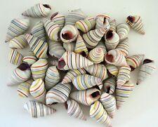 Land snails seashells Candy striped (50 shells) Liguus virgineus