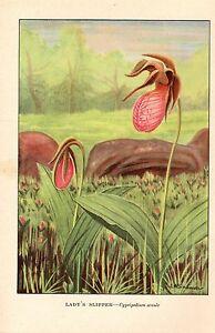 "1926 Vintage WILD FLOWER ""LADY'S SLIPPER"" GORGEOUS COLOR Art Print Lithograph"